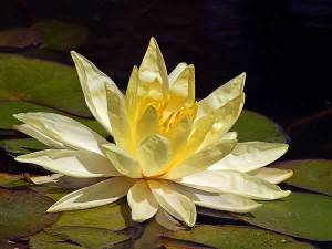 lotus-yellow-flower-sm